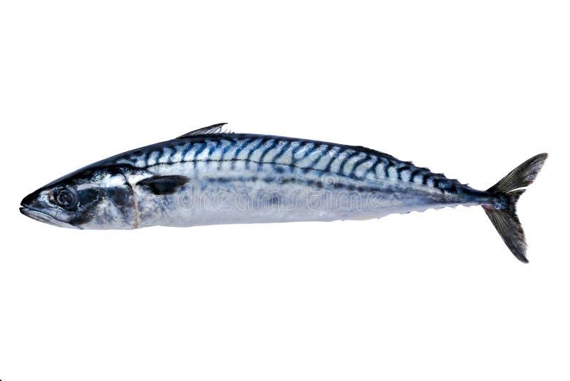 Makreli ryba Odizolowywająca na Białym tle mrożona ryba zamrażający przy zdjęcie royalty free