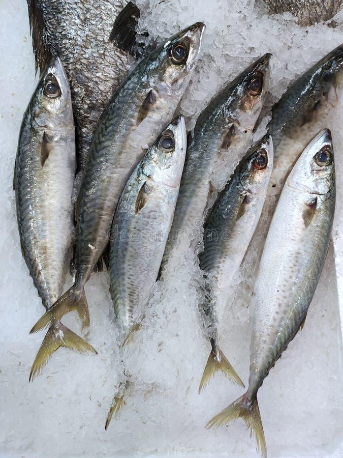 Makrillfisk i is som visas i fiskräknare arkivbild