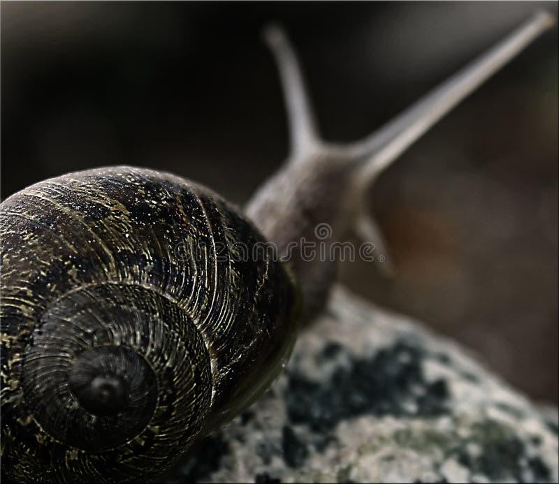 Makro- ślimaczka pięcie na kamieniu z zamazanym tłem zdjęcie royalty free