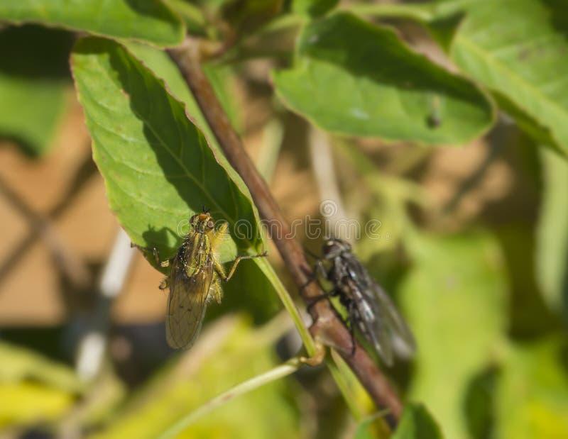 Makro- żółta gnojowa komarnica lub złoty gnojowej komarnicy Scathophaga stercor zdjęcia stock