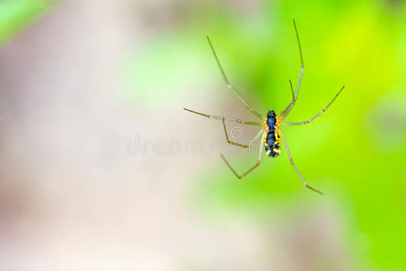 Makro- żółty ogrodowy pająk w Plotterkill prezerwie zdjęcie stock