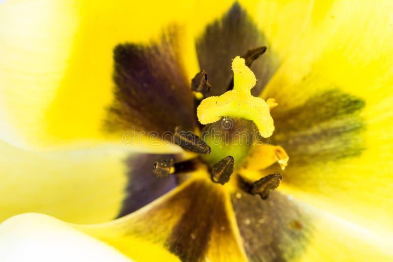 Makro- żółty tulipan z stamen i pollen fotografia royalty free