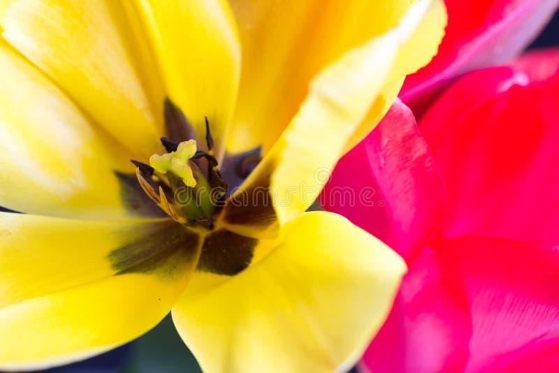 Makro- żółty tulipan z stamen i pollen zdjęcie stock
