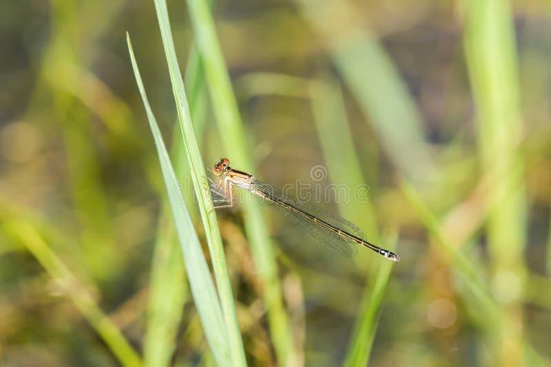 Makro- Żeński równiny Forktail Damselfly Ischnura damula fotografia stock