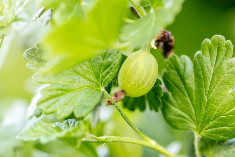 Makro-, agrest na gałąź z liśćmi, Ribes uva-crispa przyrost zdjęcia stock