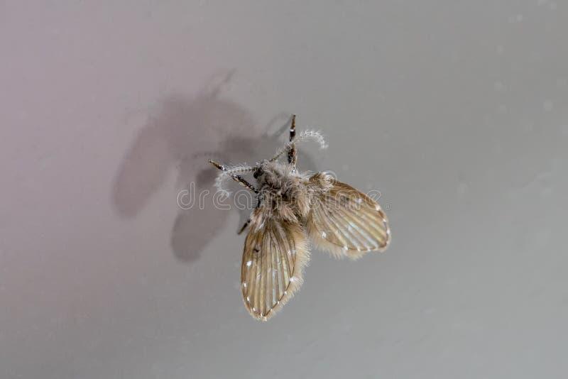 Makro auf Moth Clogmia albipunctata, die Motfliege oder Drain-Fliege, selektive Fokussierung in extrem enger Verbindung mit hoher lizenzfreie stockfotografie
