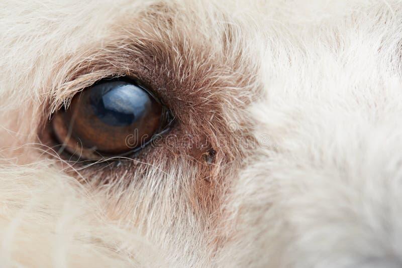 Makro av ögat för pudelhund royaltyfri foto