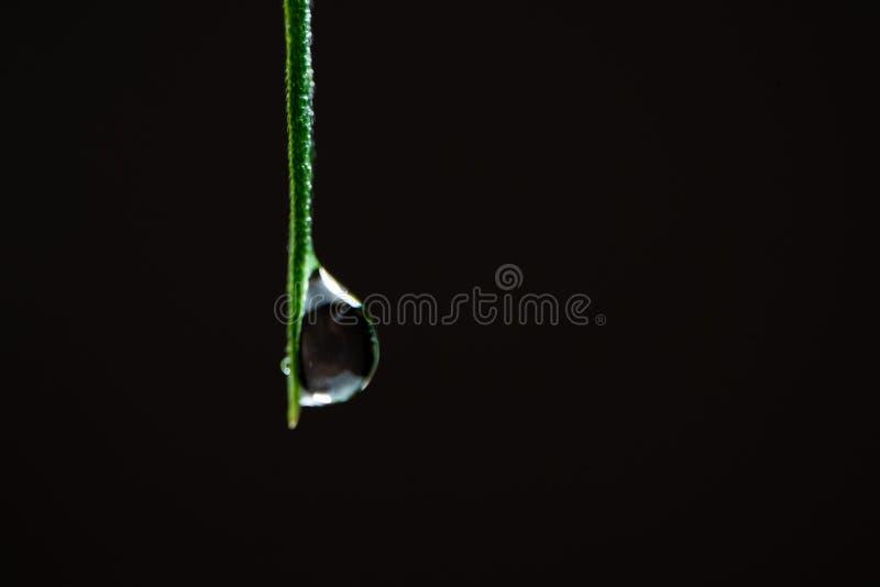 Makro av cannabis Vattendroppar på toppen av ett grönt hampblad på en svart bakgrund Kopiera utrymme En stängning av våt marijuan arkivbilder
