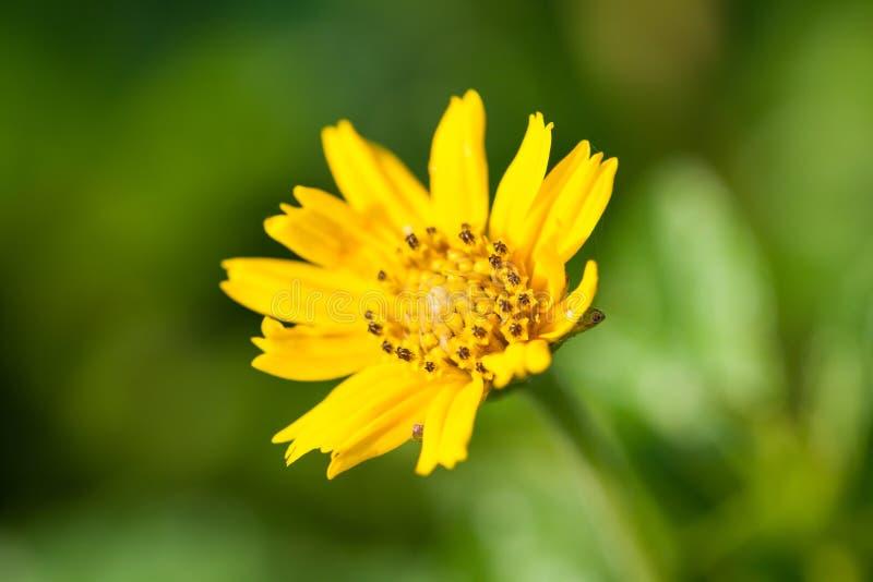 Makro av den lilla gula blomman royaltyfri bild