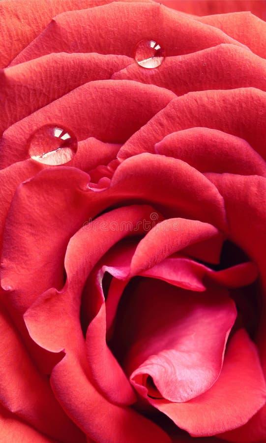 Makro av den röda rosen med daggdroppar arkivfoton