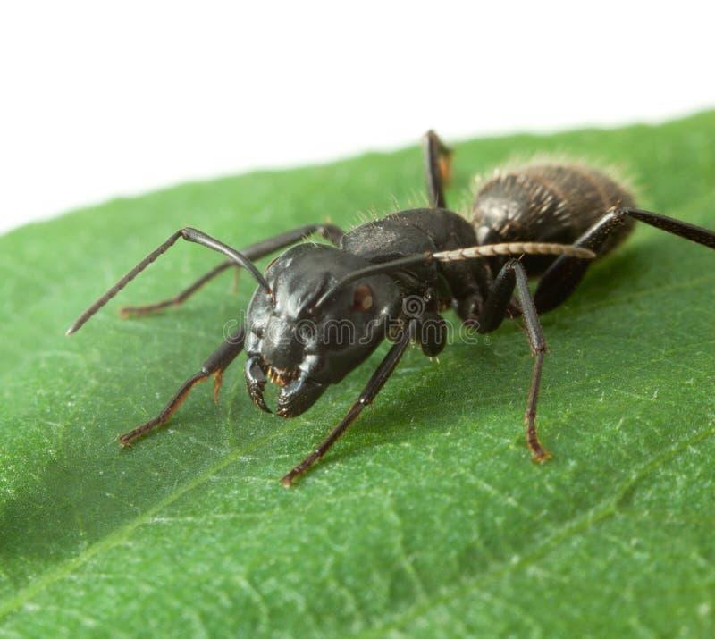 Makro av den stora myran på bladet arkivfoton