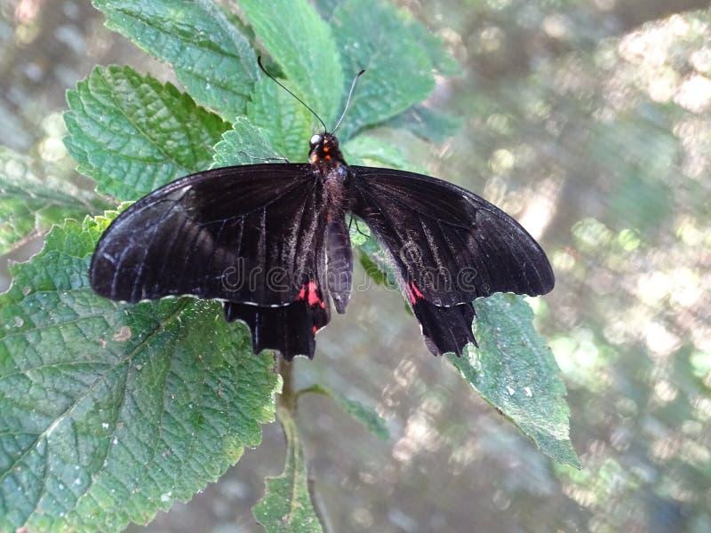 Makro av den svarta och röda fjärilen arkivfoto