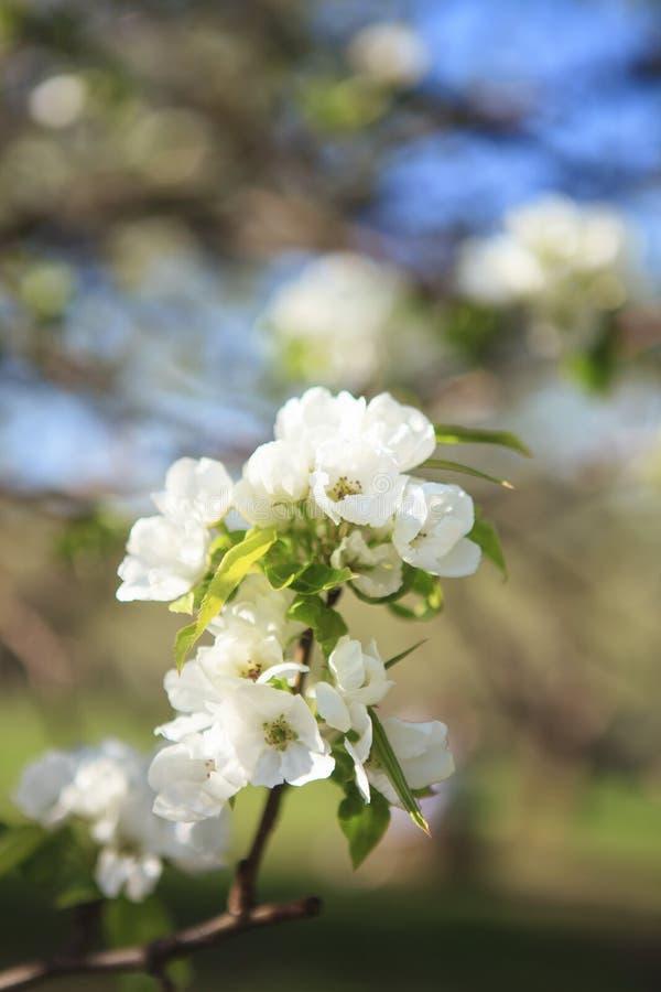Makro av det blommande äppleträdet royaltyfria bilder