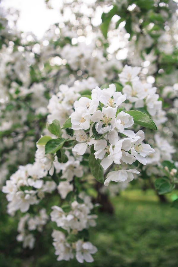 Makro av det blommande äppleträdet arkivbilder