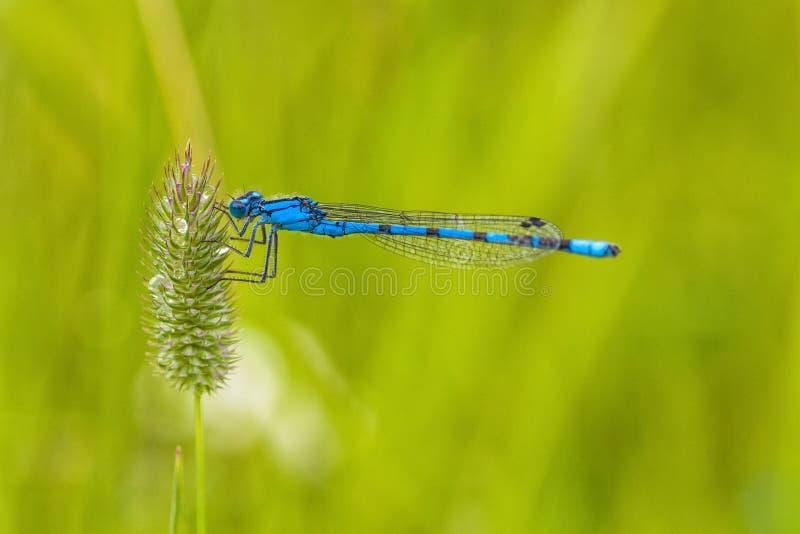 Makro av en blå Damselfly arkivfoto