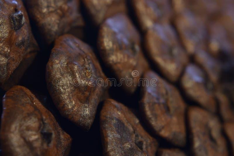 Makro av en brun pinecone royaltyfri fotografi