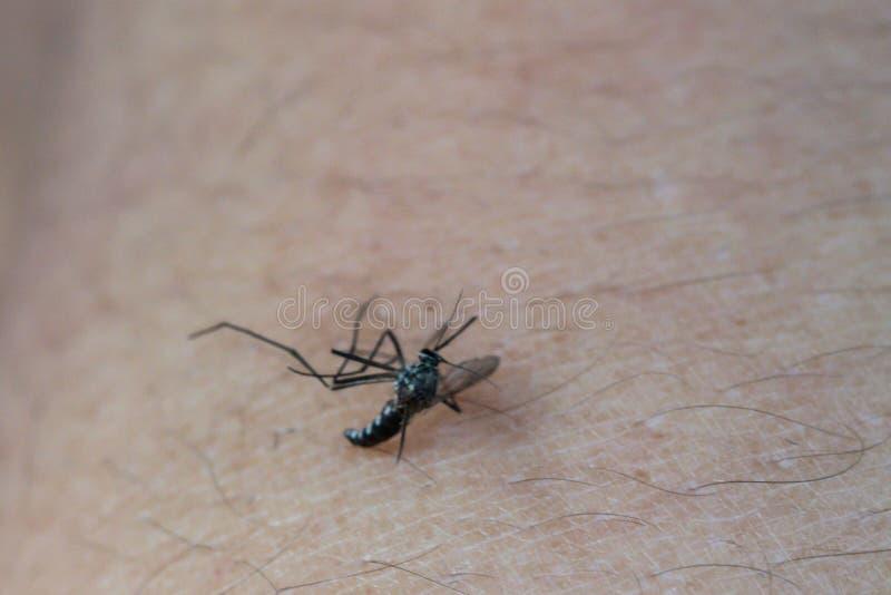 Makro av en d?d mygga som ?r d?d p? en m?nsklig hud Mage mycket av blod royaltyfri foto