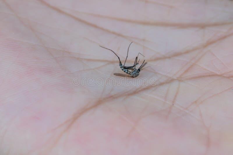 Makro av en d?d mygga som ?r d?d p? en m?nsklig hud Mage mycket av blod arkivfoton