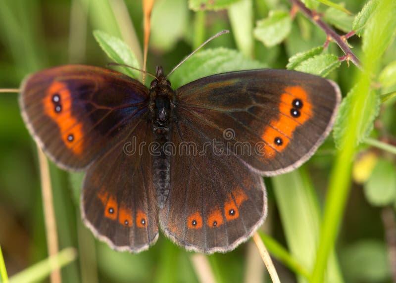 Makro av en fjäril: Erebia aethiops arkivfoto