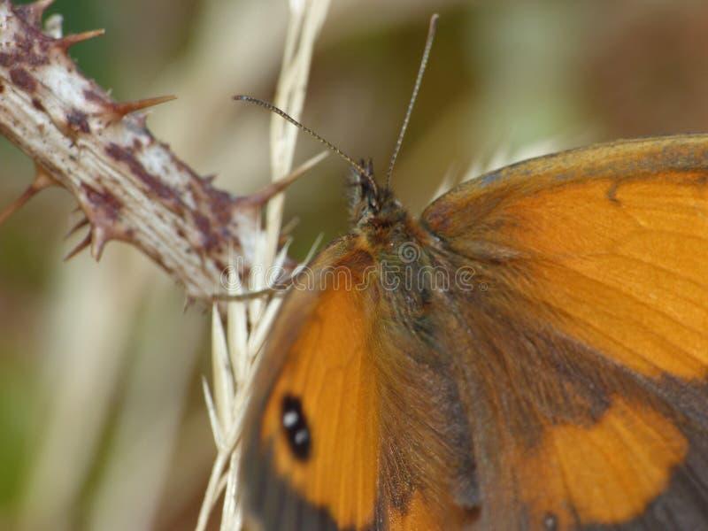 Makro av en fjäril på en björnbärbuske, foto som tas i UK royaltyfria foton