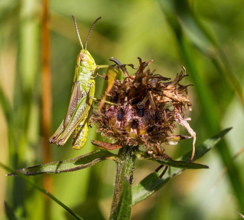 Makro av en gräshopper royaltyfria bilder