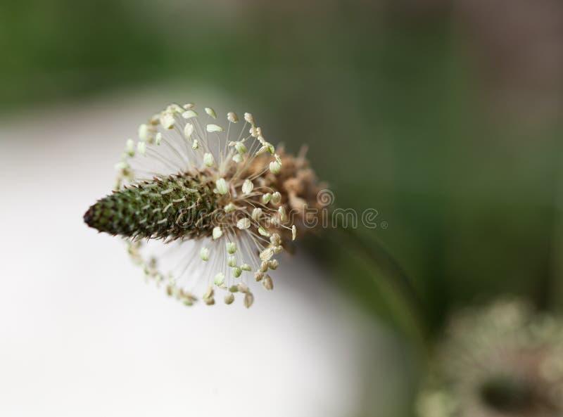 Makro av en lös blomma: Plantagolanceolata arkivfoto