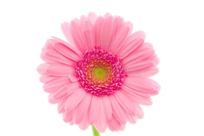 Makro av en rosa gerbera royaltyfria foton