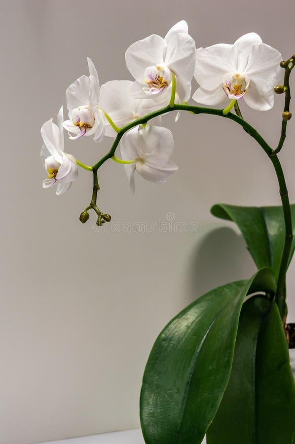 Makro av för orkidéblomma för stor filial den vita orkidén för mal för Phalaenopsis eller Phal Blomma på det ljust - grå bakgrund royaltyfria foton