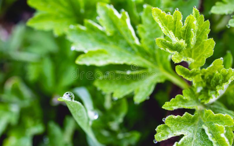 Makro av fuktighet på det gröna bladet arkivfoton