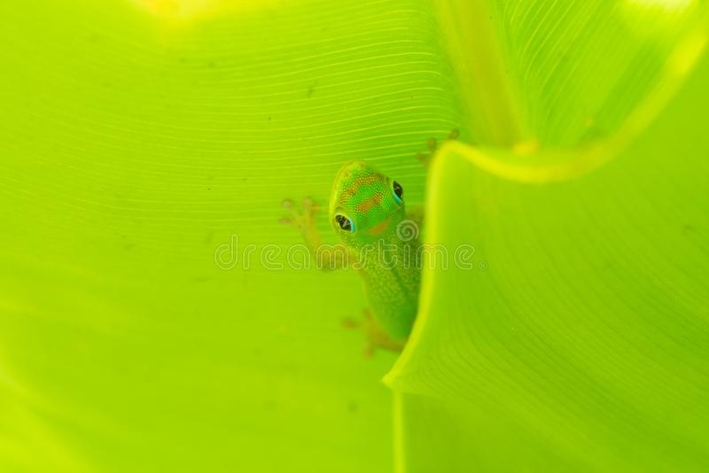 Makro av guldstoftdaggeckon fotografering för bildbyråer