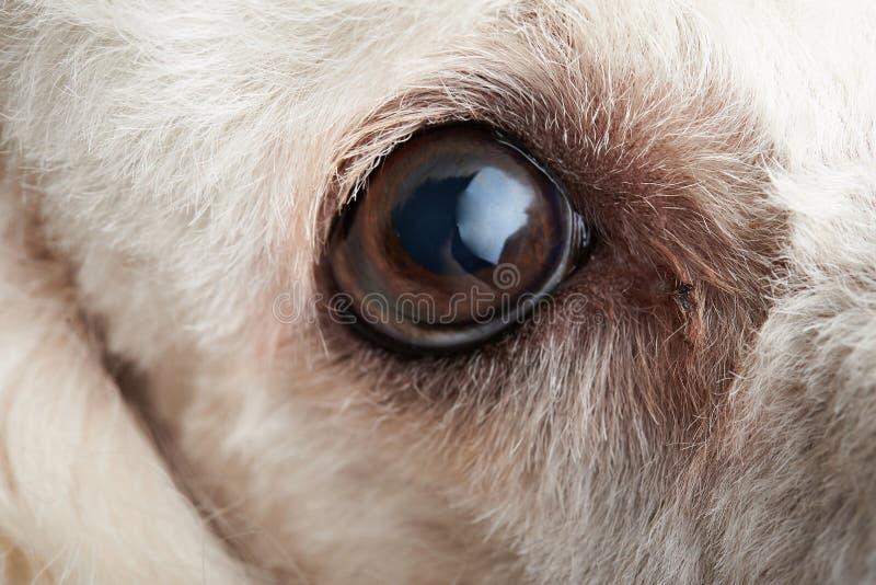 Makro av hundögat med infektion arkivfoto