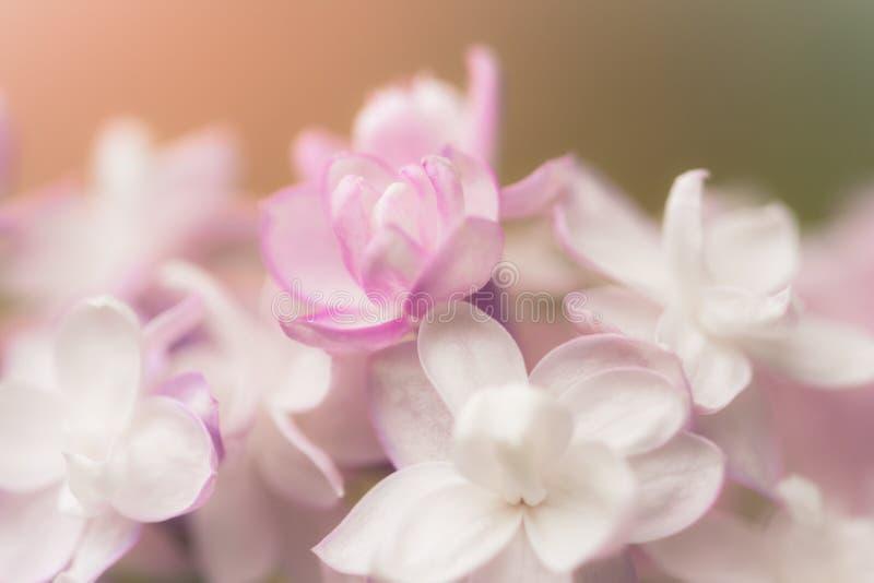Makro av lila vårkronbladblommor royaltyfri bild