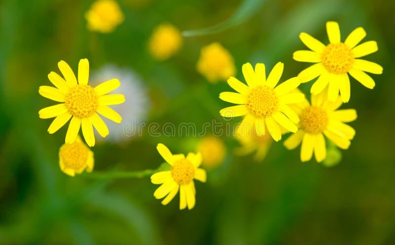 Makro av ljusa gula blommor av större celandine på gräsplan royaltyfri fotografi