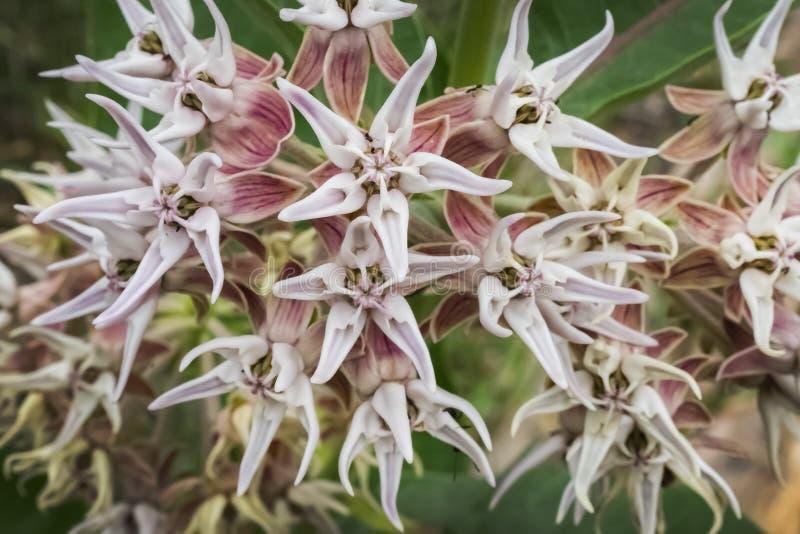 Makro av milkweeden royaltyfri bild
