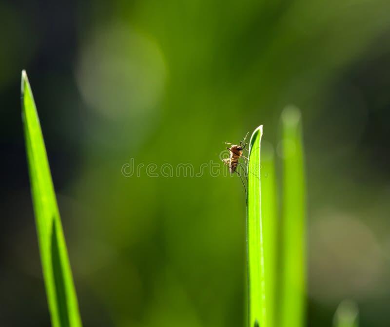 Makro av myggan på gräsbladet royaltyfria foton