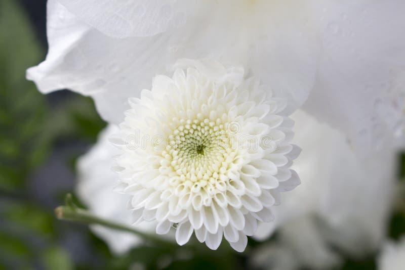Makro av oavkortad blom för beautifully invecklad vit krysantemumblomma, med oskarp bakgrund arkivfoto