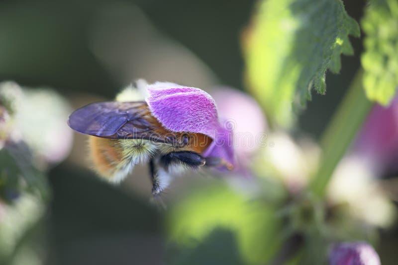 Makro av pollination från ett bi royaltyfria foton