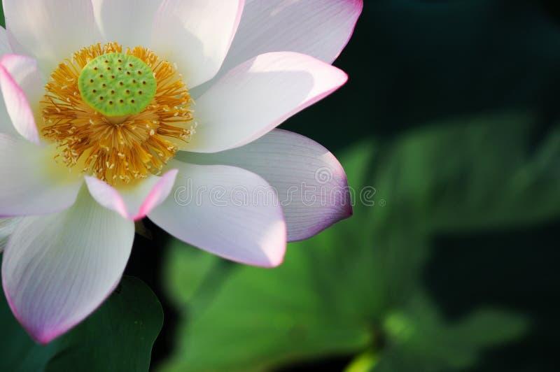 Makro av rosa lotus blomma arkivfoto