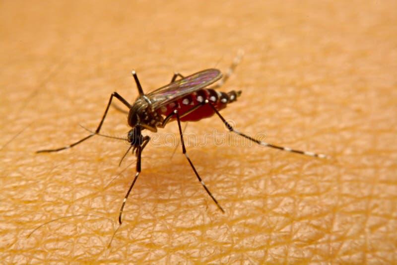 Makro av slutet för blod för myggaAedesaegypti det sugande upp på arkivbild