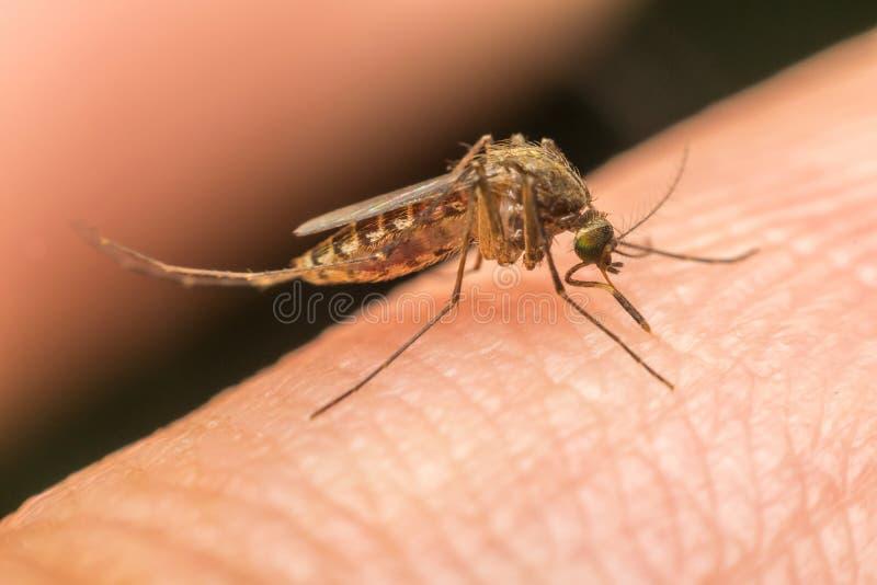 Makro av sugande blod för mygga (Aedesaegypti) royaltyfria foton