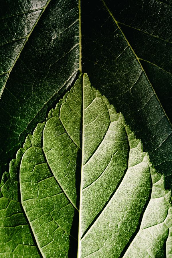 Makro av undersidan eller den abaxiala sidan och bjälken på mulberblad, grön bakgrund på naturblad royaltyfri foto