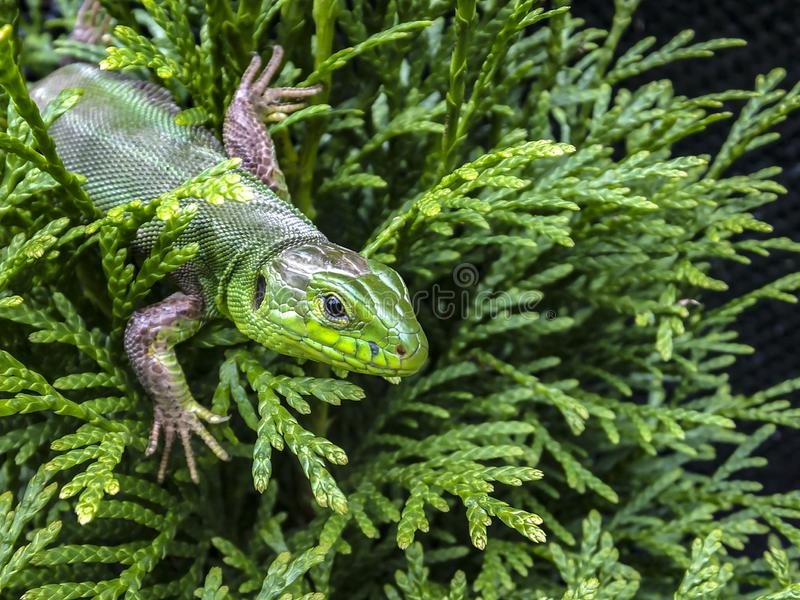Makro av viridis för en Lacerta för grön ödla arkivfoto