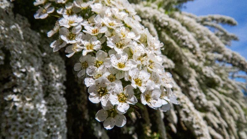Makro av vita blommor från stora buskar royaltyfria bilder