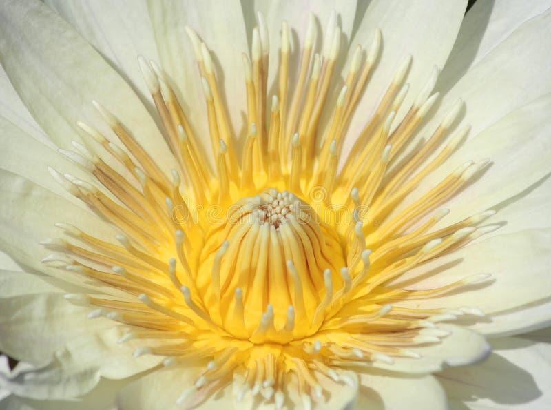 Makro av vita Waterlily royaltyfria bilder