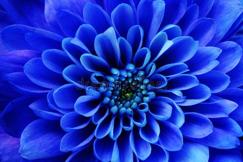 Makro- błękitny kwiatu aster obraz stock
