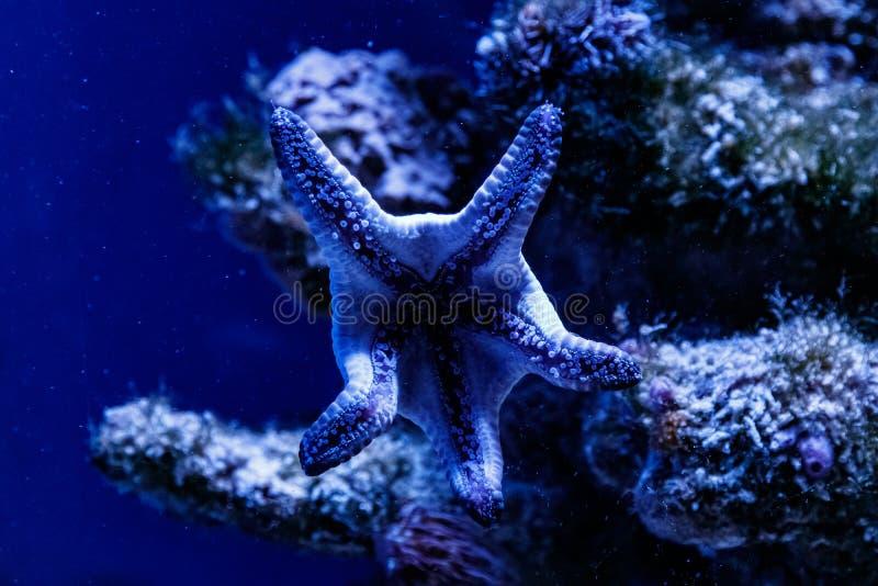 Makro- błękitny rozgwiazdy linckia laevigata fotografia stock