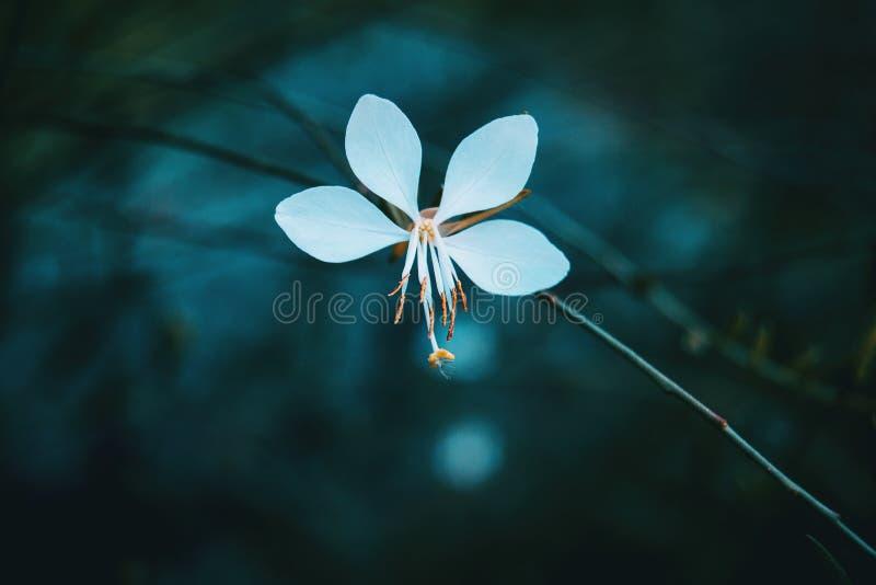 Makro- biały kwiat gaura zdjęcia stock