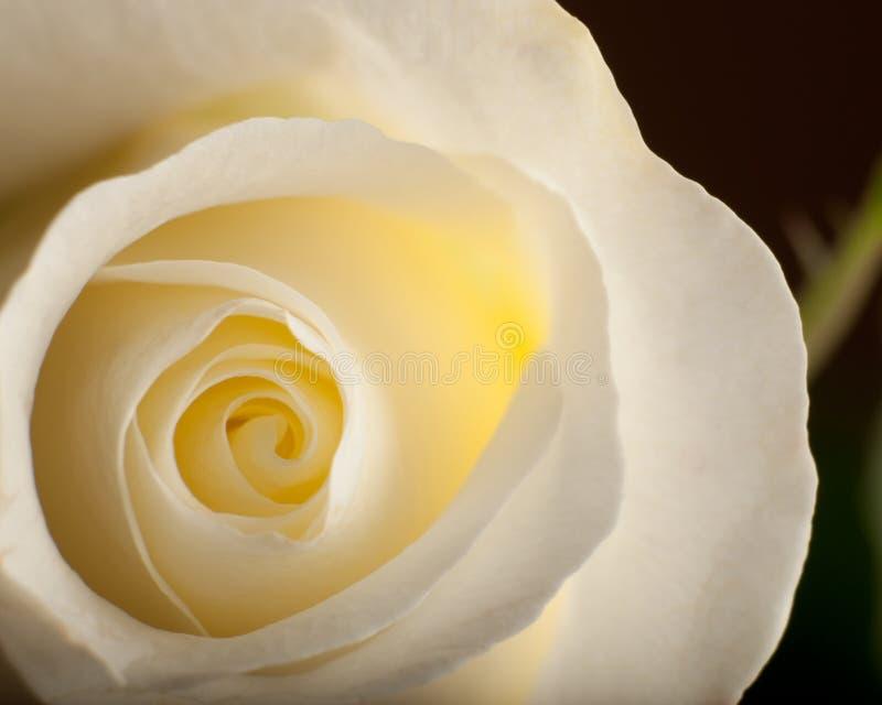 Makro- biel Róża obraz royalty free