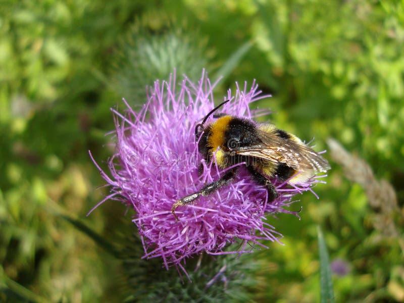 Makro- bumblebee na osetu kwiacie na słonecznym dniu zdjęcie royalty free