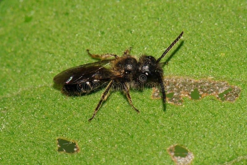 Makro- caucasian mała dzika pszczoła na zielonym liściu zdjęcie stock